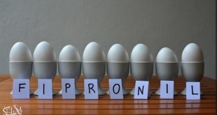 البيض الملوث بالفيبرونيل
